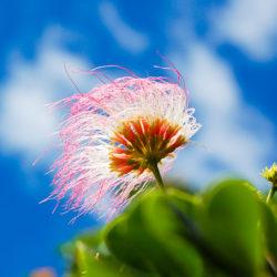 モンキーポッドのお花。ふさふさ。