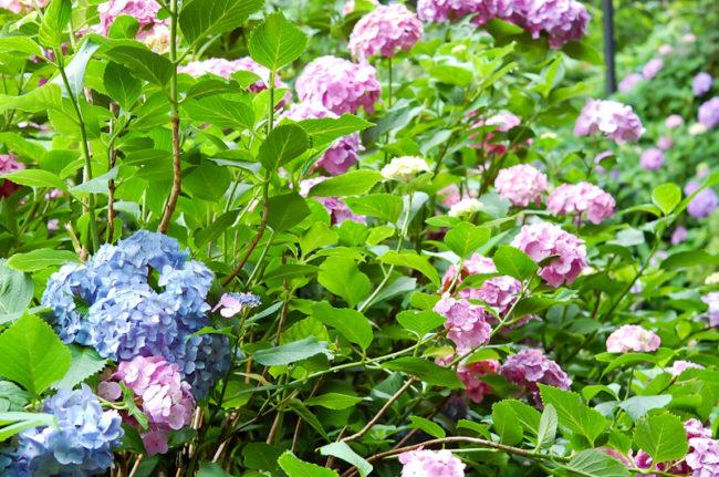 彩りの紫陽花