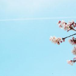 飛行機雲と桜 新宿御苑にて