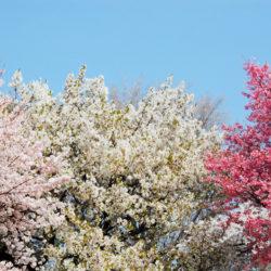 三種類の桜