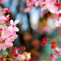 ヨウコウの花