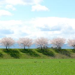 堤に並ぶ桜の木