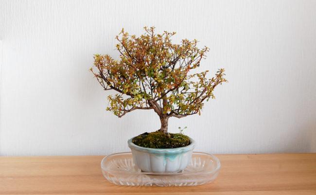 冬の時期の盆栽さん