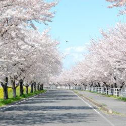 車も通れる桜並木