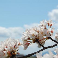 雲に届きそうな桜