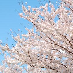 空の青と桜が素敵!