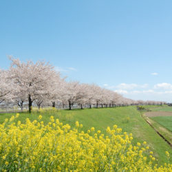 空と桜と緑と菜の花