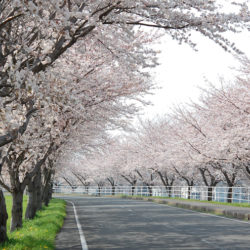 大榑川堤の桜並木