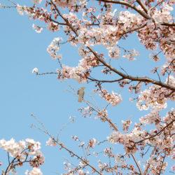 桜と野鳥(ヒヨドリ)