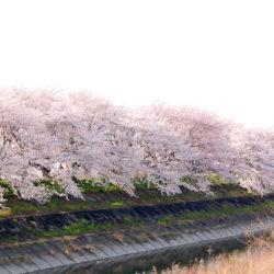 県道23号沿いから見た桜
