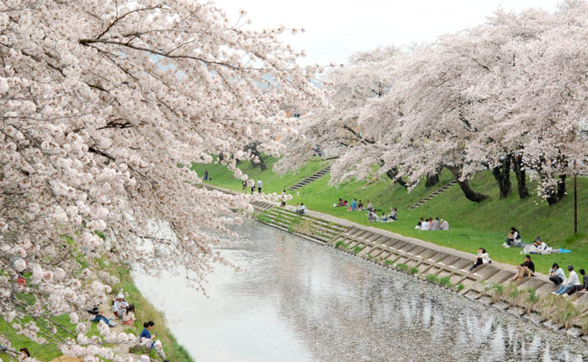 新境川堤の桜並木