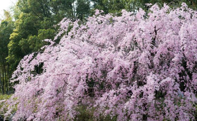 白鳥庭園のしだれ桜