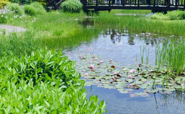 蓮の花が咲く池
