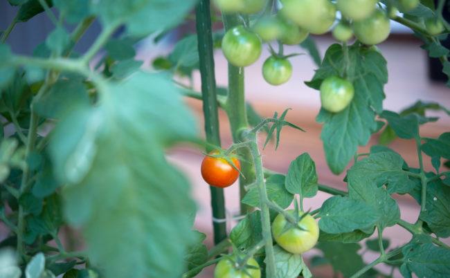 プチトマトが色づく