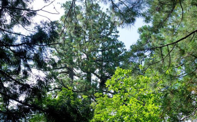 戸隠神社 中社にある三本杉