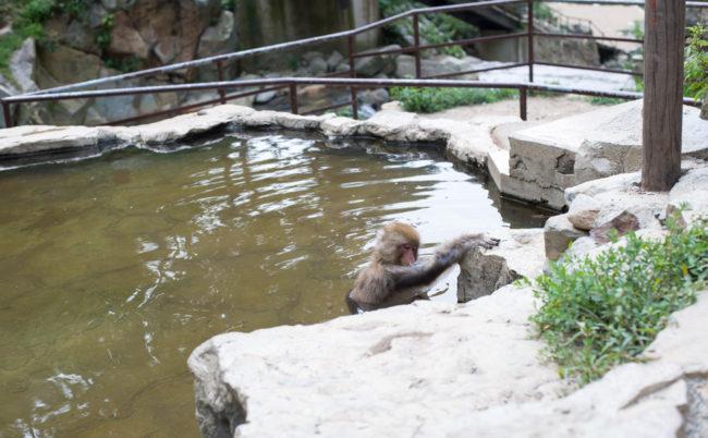 地獄谷野猿公苑の猿