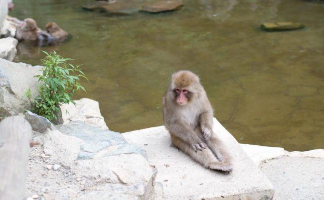 地獄谷野猿公苑の猿 ストレッチ中