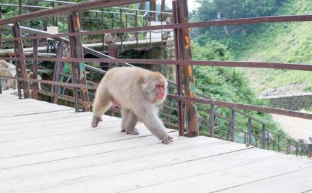 地獄谷野猿公苑のボス猿